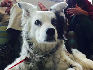 世上最聪明狗狗去世 被称狗界最强大脑的它到底有多聪明