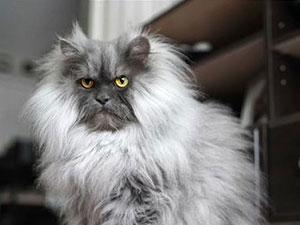 猫咪因天生生气脸走红 猫中王者不怒自威Juno是什么品种