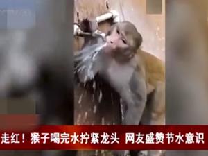 猴子喝完水拧龙头 聪明猴儿节水一幕在网络上走红