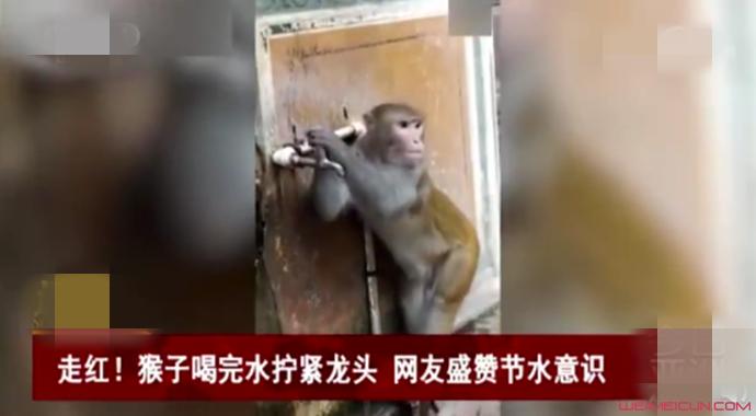 猴子喝完水拧龙头