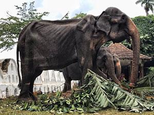 大象巡演至皮包骨头 造成大象骨瘦如柴的原因是什么