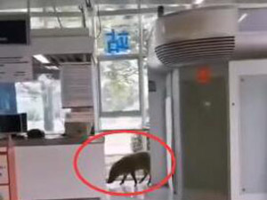 野猪误入南京地铁 详细情况画面曝光网友评