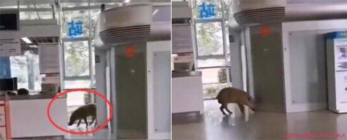 野猪误入南京地铁