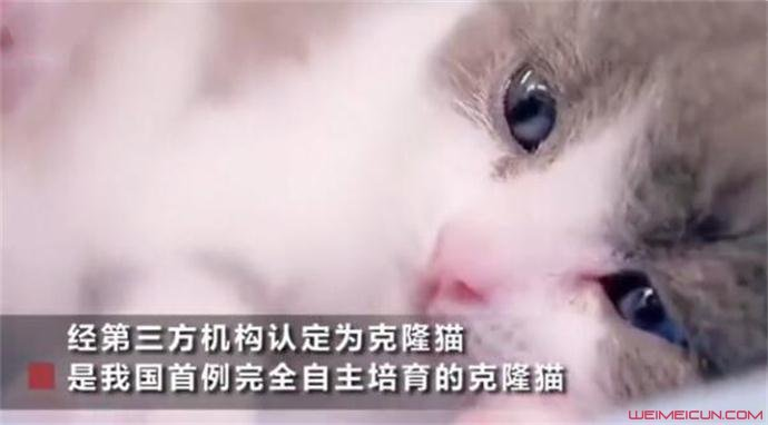 我国首只克隆猫诞生过程揭秘
