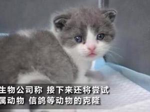 我国首只克隆猫 这只名叫大蒜的克隆猫诞生过程大揭秘