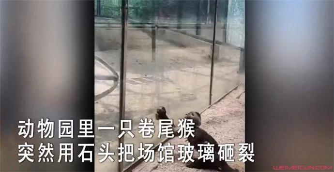 动物园猴子砸玻璃