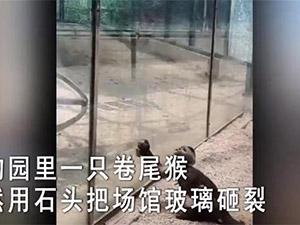 动物园猴子砸玻璃 披露事发经过及画面引网友神评论
