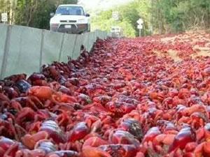 荷兰小龙虾霸占街道 满街都是小龙虾造成泛滥原因有两点