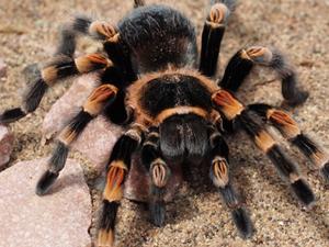 """香蕉里有巨型蜘蛛 它""""安家""""于超市顾客们被吓得尖叫"""