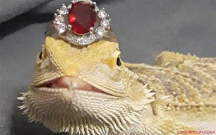 女子给蜥蜴戴钻戒