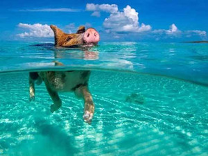 野猪海里游泳被拍 详细经过曝光网上被这一