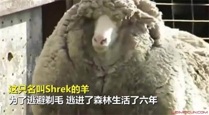 澳网红绵羊去世