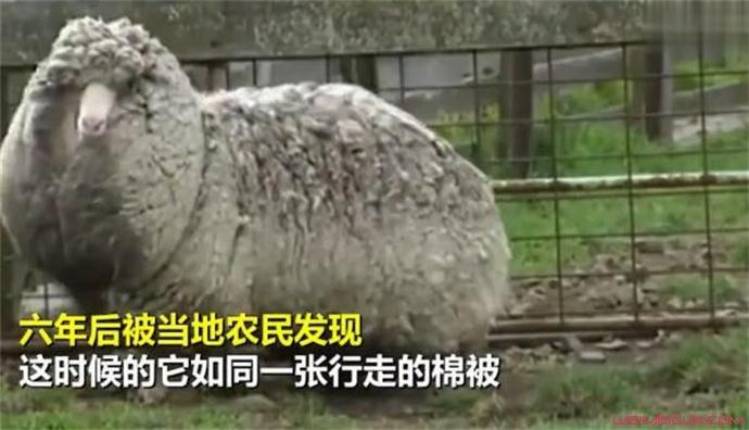 澳网红绵羊去世原因是什么