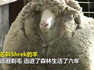 澳网红绵羊去世 揭露详细情况及离世原因是