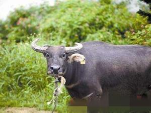 男子被疯牛怼上树 这还是自家养的牛事件后