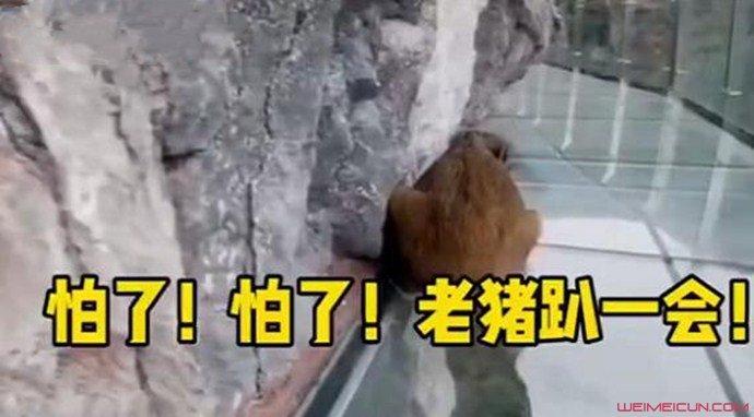 小野猪误闯玻璃栈道后秒怂