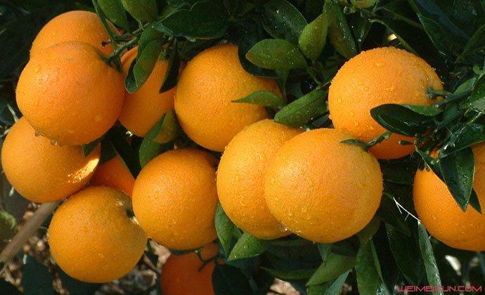 脐橙有什么功效和作用