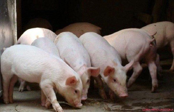 2万月薪招聘养猪