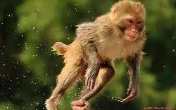 栅栏受损猴子逍遥