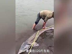 """2.18米长江鲟现身 所幸无受伤其被称之为""""水中大熊猫"""""""