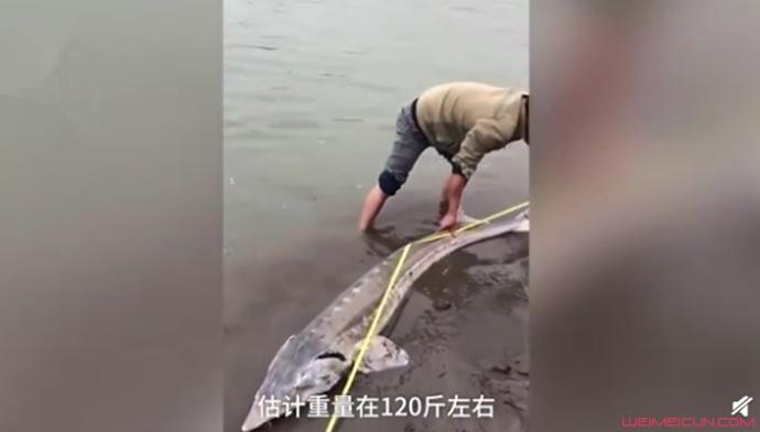 2.18米长江鲟现身