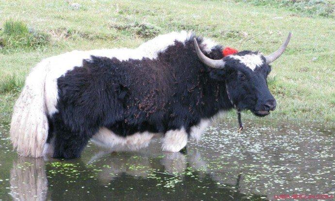 1头牛168万人民币