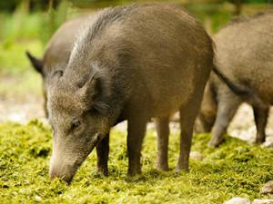 野猪倒追猎人走红 一分钟短视频火了引网友