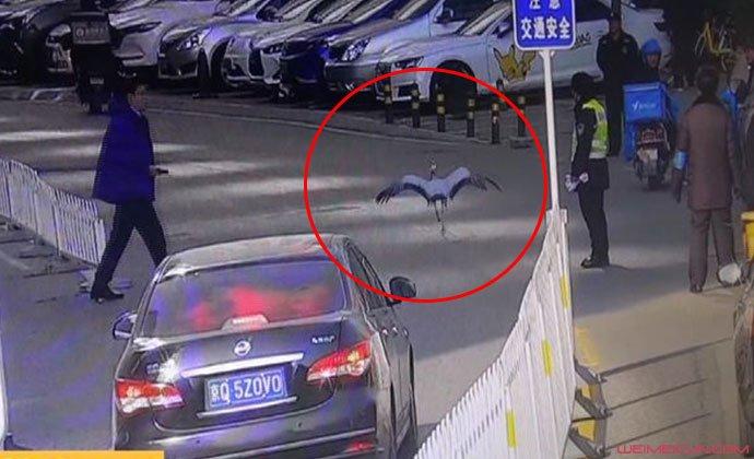 仙鹤惊现北京街头
