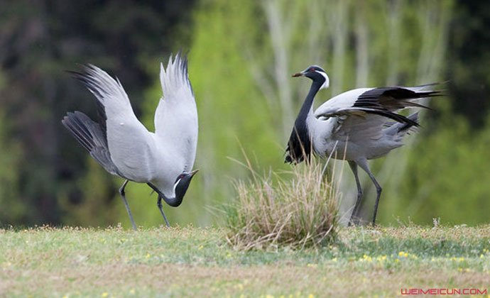 二级保护动物蓑羽鹤