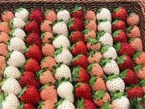 日本一颗草莓900 具体情况原来是这样的惊呆