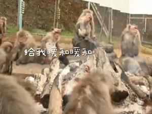 猴子集体吃烤地瓜 别样篝火晚会现奇观这画面绝了