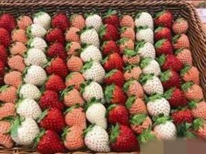 天价草莓1颗900元 买家:放在家里观赏它值