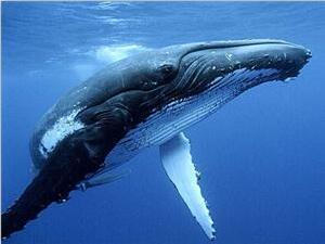 鲸鱼为什么会搁浅?