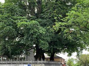 500年情侣树断了 情侣树由来起底网友神评论令人哭笑不得