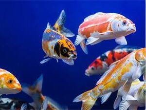 鱼为什么睁着眼睛睡觉?