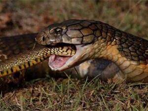 眼镜王蛇为什么吃蛇?