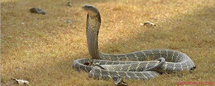 眼镜王蛇为什么吃蛇
