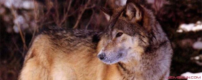 狼图腾为什么摔死狼崽
