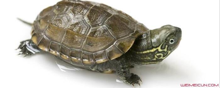 乌龟为什么会有壳