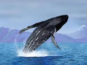 鲸鱼为什么要搁浅?