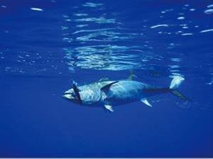 蓝鳍金枪鱼为什么这么贵?
