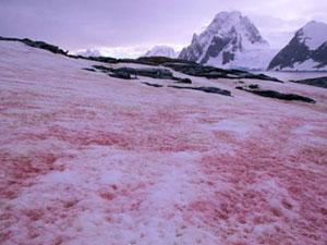 南极出现西瓜雪 粉红色的雪你见过吗西瓜雪形成原因揭秘