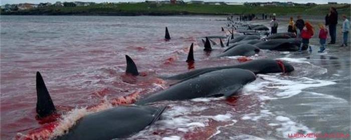 为什么日本人杀海豚