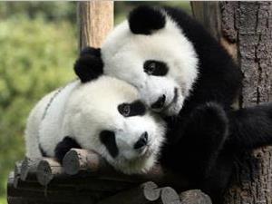为什么只有中国有熊猫?