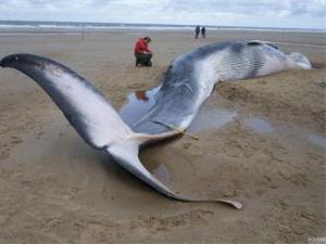 鲸鱼搁浅为什么会死?