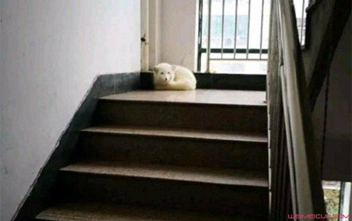 白狐惊现小区楼道