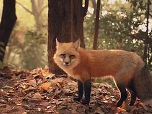 武大网红狐狸下山觅食 具体详情以及画面大揭秘