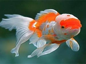 金鱼为什么会吐泡泡?