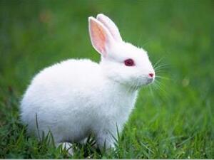 为什么给兔子洗澡兔子会死?