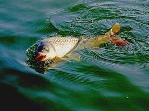 鲤鱼为什么要跳水?